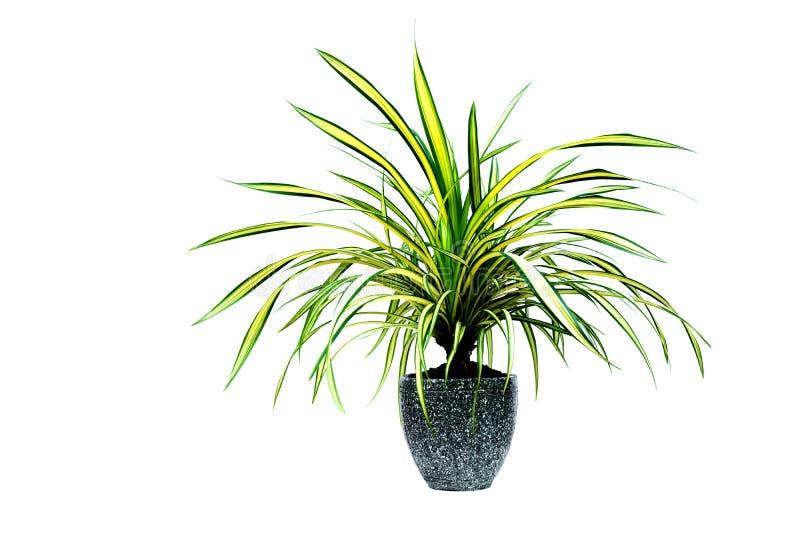 绿色盆的植物,在白色ba隔绝的水泥罐的树 库存照片