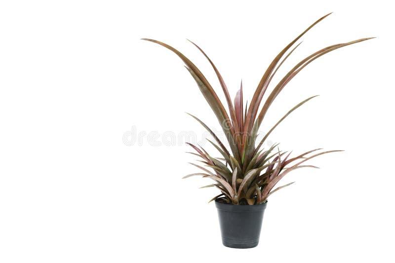 绿色盆的植物,在白色ba隔绝的水泥罐的树 库存图片