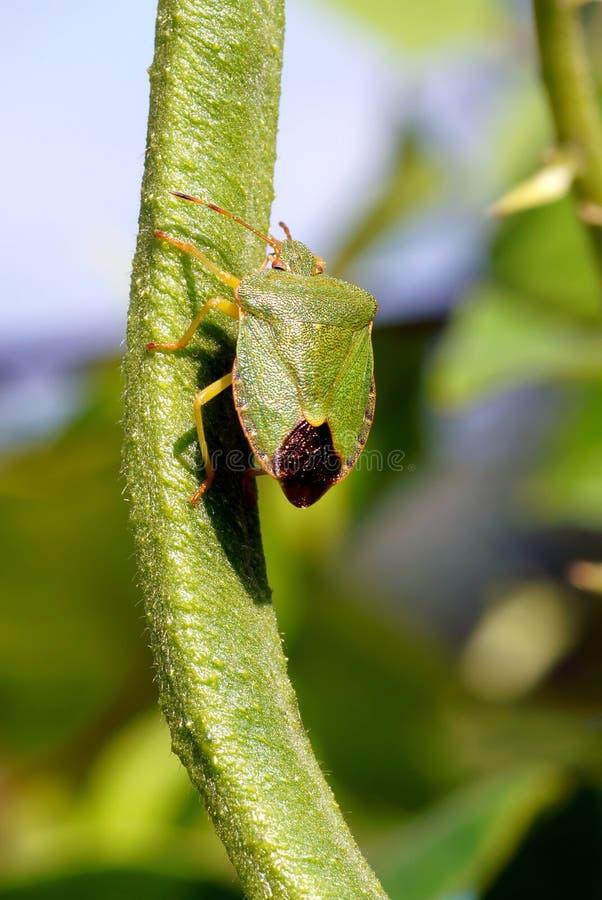 绿色盾臭虫。 图库摄影