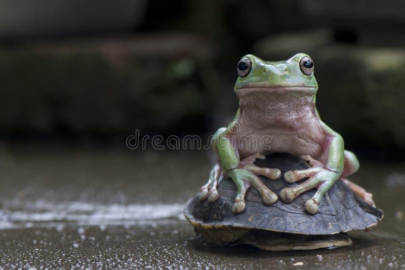 绿色矮胖的青蛙 免版税库存图片