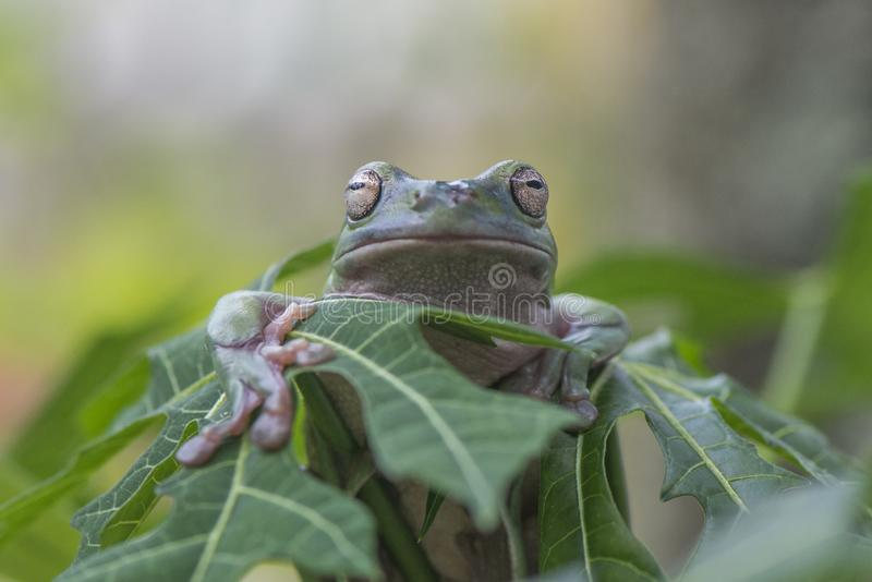 绿色矮胖的青蛙 库存照片