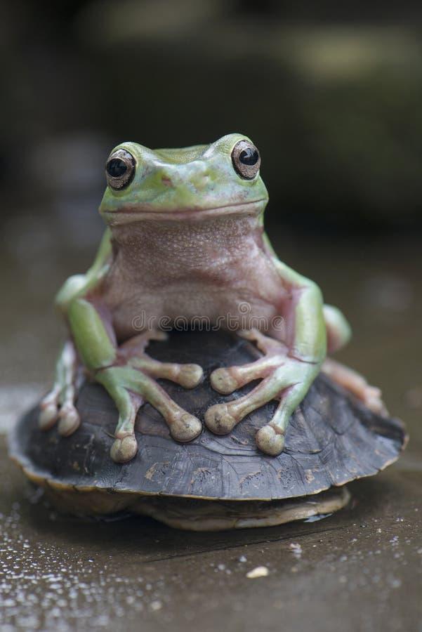 绿色矮胖的青蛙 免版税库存照片