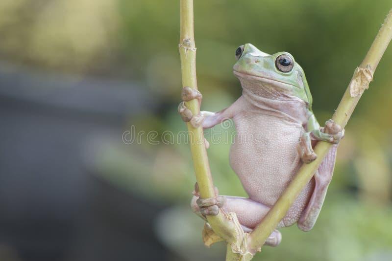 绿色矮胖的青蛙 库存图片