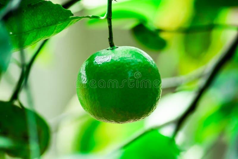 绿色石灰或绿色柠檬热带水果,在家长大在庭院里的食物成份 库存照片