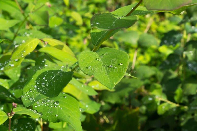 绿色离开与水滴在雨以后 露水留下雨 库存照片