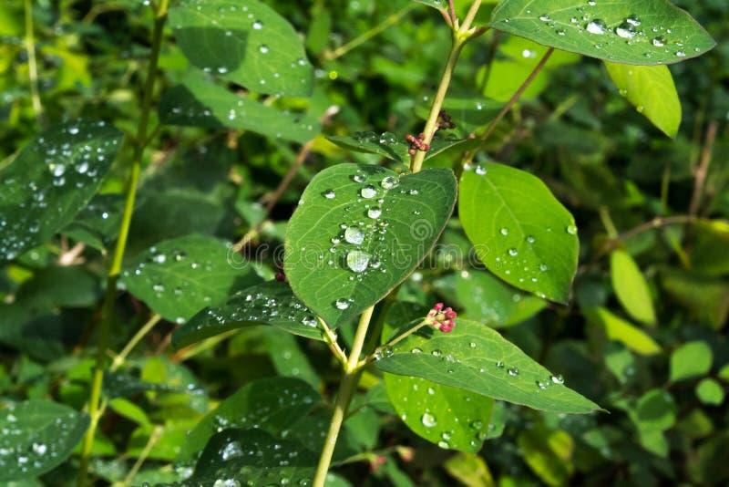 绿色离开与水滴在雨以后 露水留下雨 库存图片