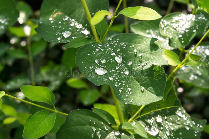 绿色离开与水滴在雨以后 露水留下雨 免版税图库摄影