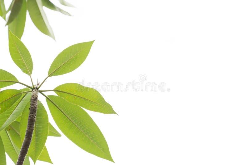 绿色离开与自由空间在白色背景 免版税库存图片