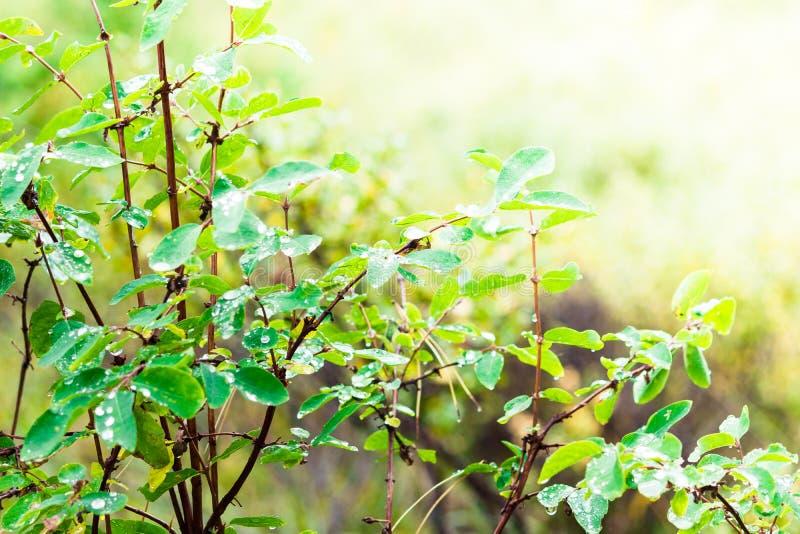 绿色离开与露滴在早晨森林 免版税图库摄影