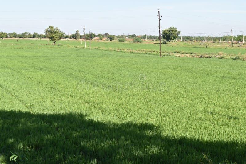 绿色稻田美丽的景色早晨 库存照片