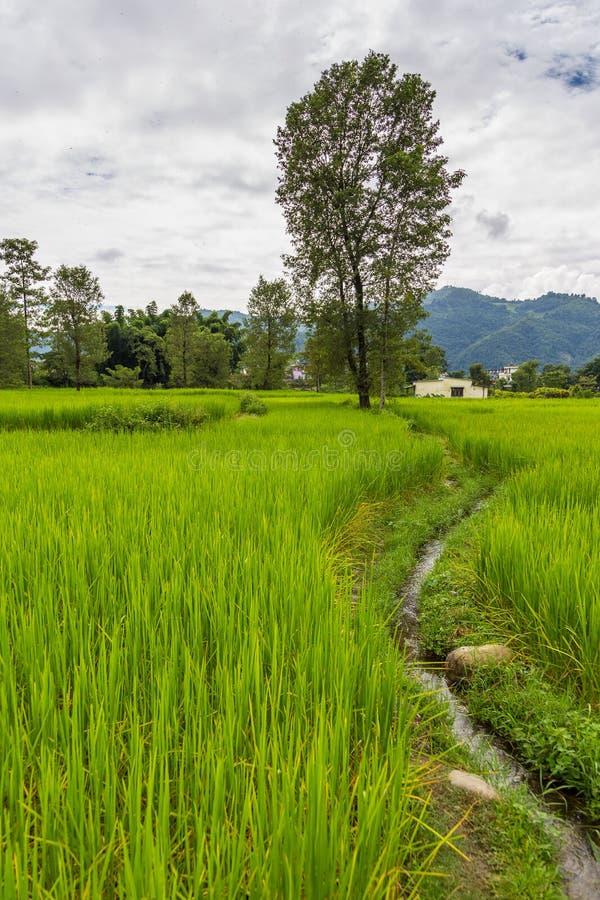 绿色米在博克拉谷,尼泊尔调遣 库存照片