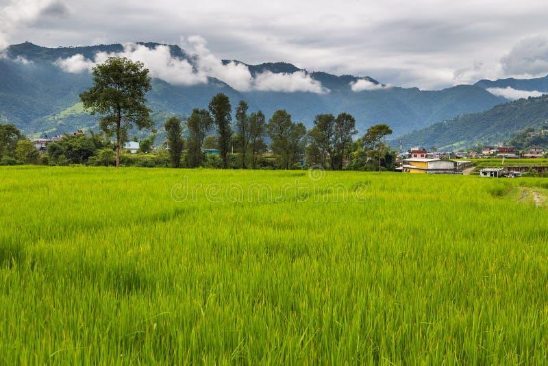 绿色米在博克拉谷,尼泊尔调遣 免版税图库摄影