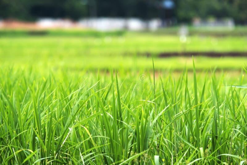 绿色米领域的特写镜头图象与迷离自然的 免版税库存图片
