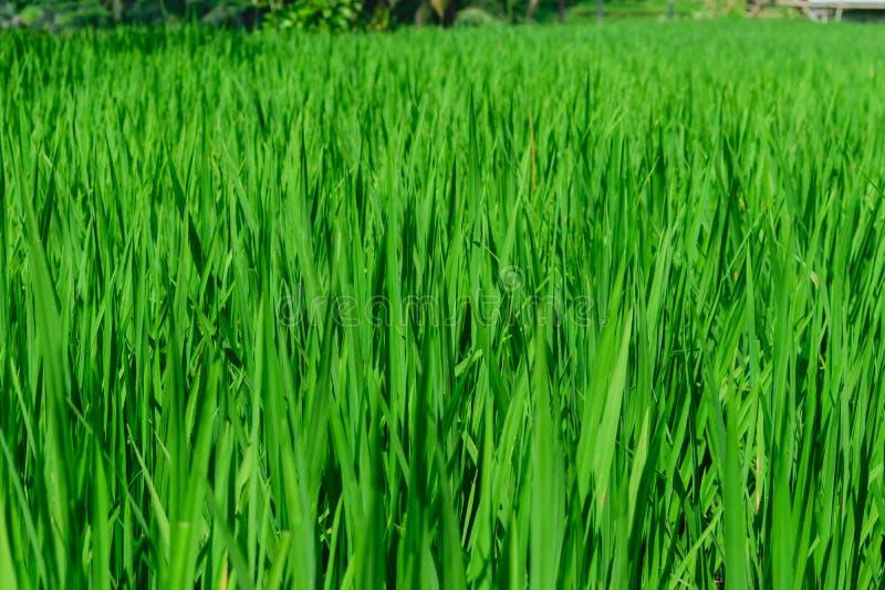 绿色米领域背景表面在米大阳台的在巴厘岛 库存照片