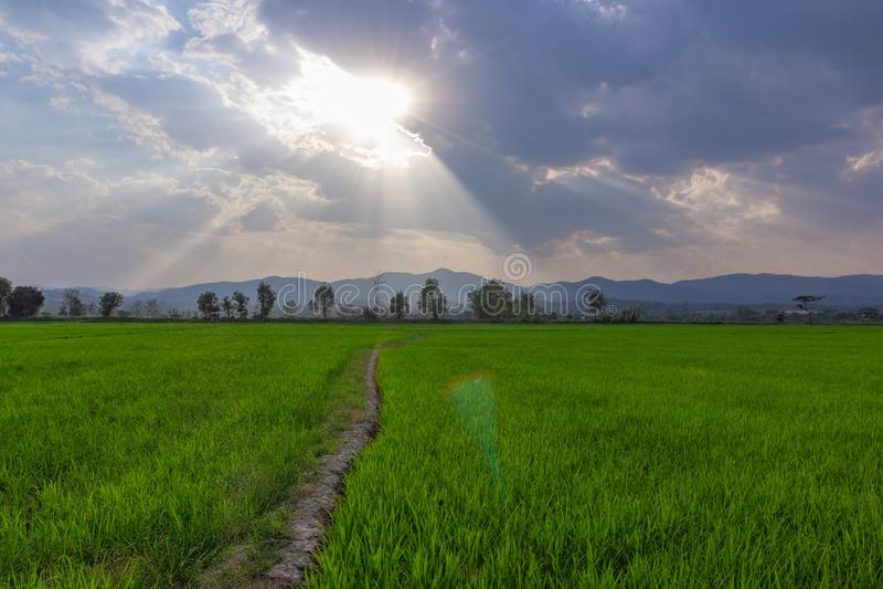 绿色米领域风景与山的在背景 免版税库存照片