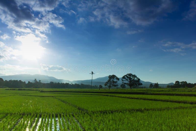 绿色米领域风景在与山的一好日子在背景 免版税库存照片