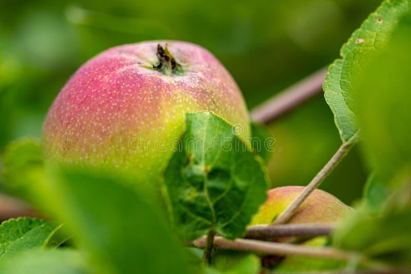 绿色红色苹果 成熟的苹果在庭院里 在叶子中的水多的苹果在分支 免版税库存照片