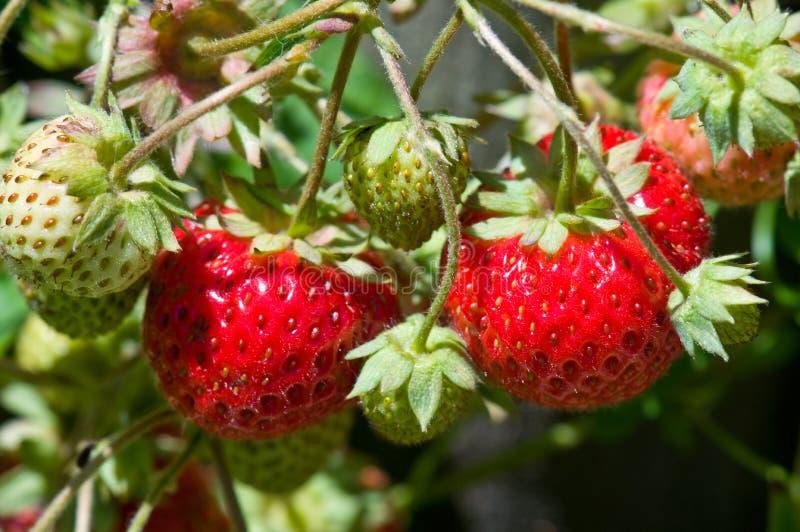绿色红色草莓 免版税库存照片