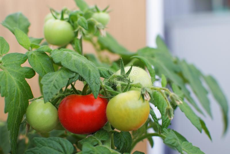绿色红色西红柿选择聚焦农业农场哈尔韦斯 库存图片