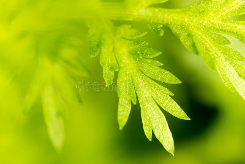绿色红萝卜叶子 宏指令 库存照片