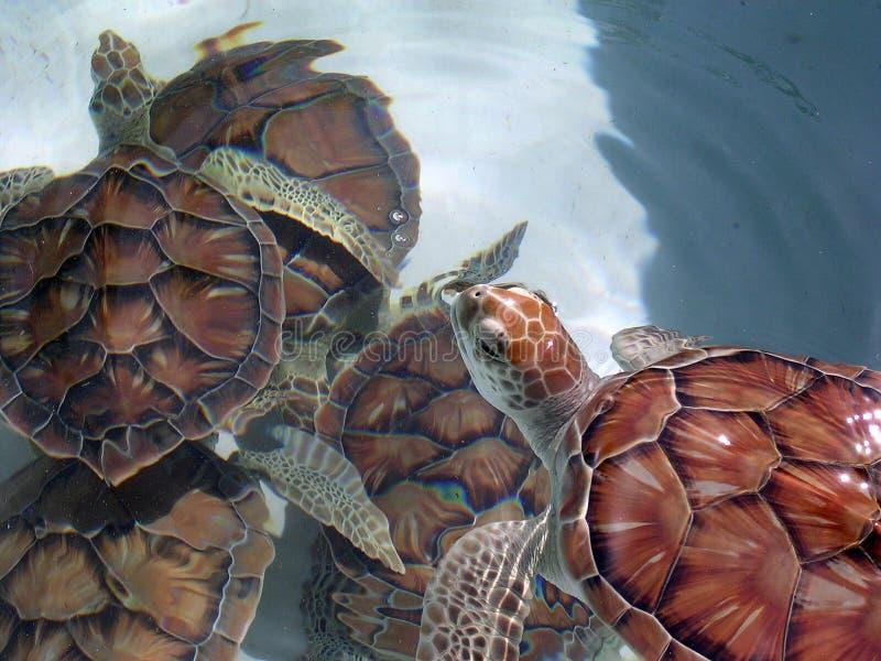 绿色组海龟 库存照片