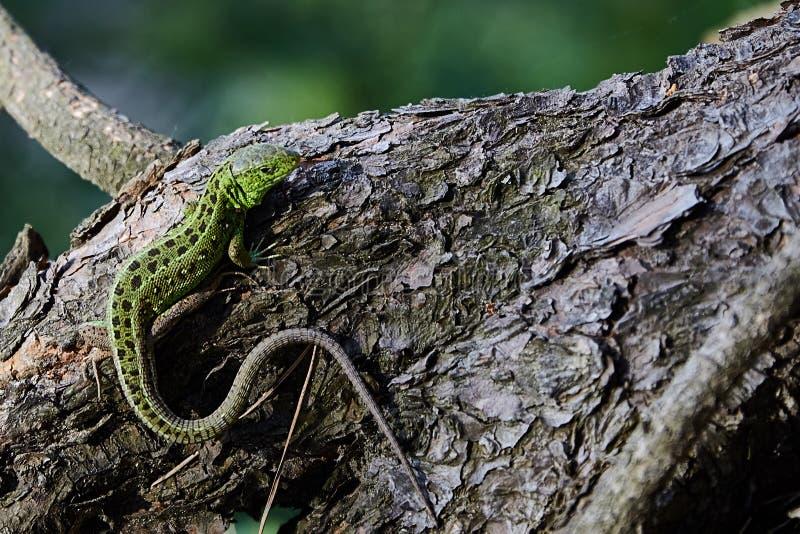 绿色美丽的蜥蜴坐杉木,特写镜头的根 免版税库存照片