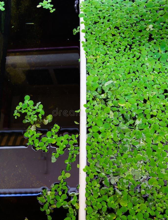 绿色背景用浮萍 免版税库存照片