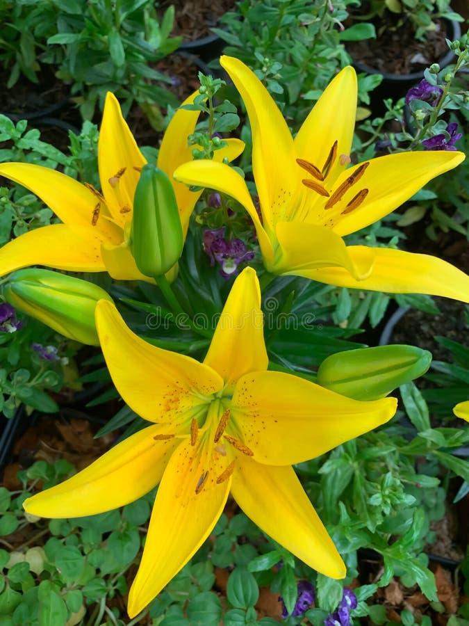 绿色背景的新鲜的黄色约翰・利利 图库摄影