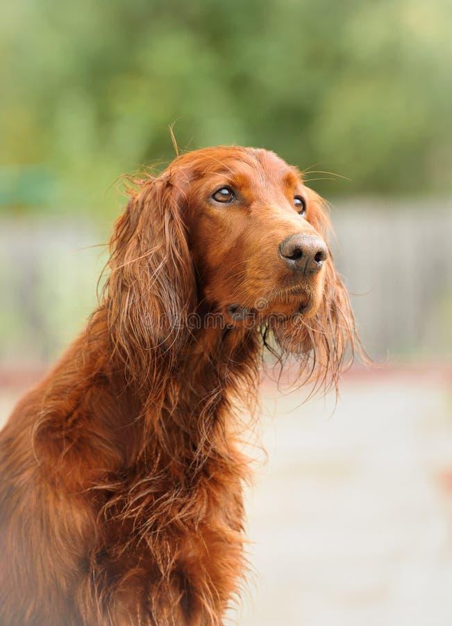 绿色背景的画象爱尔兰赤毛的塞特种猎狗 免版税库存照片