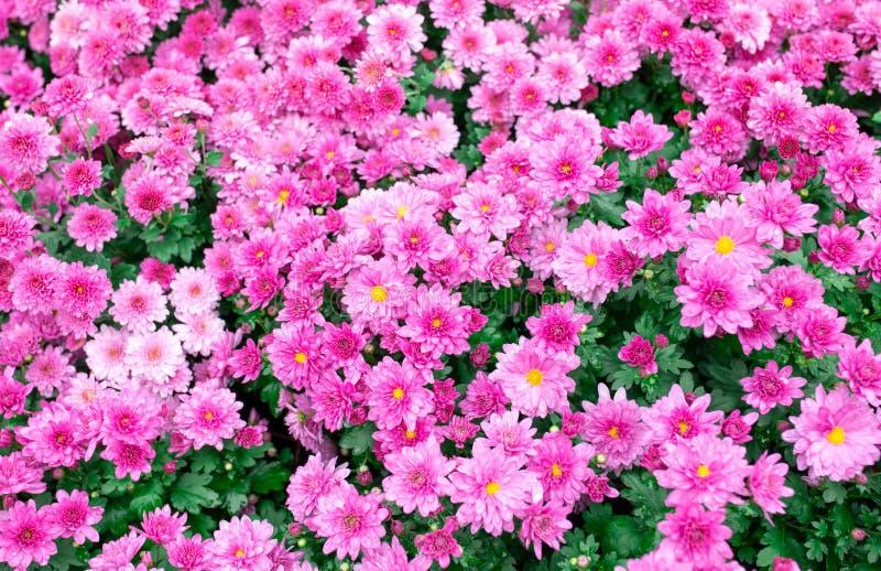 绿色背景雨滴紫紫色夏菊成骨花 免版税库存图片
