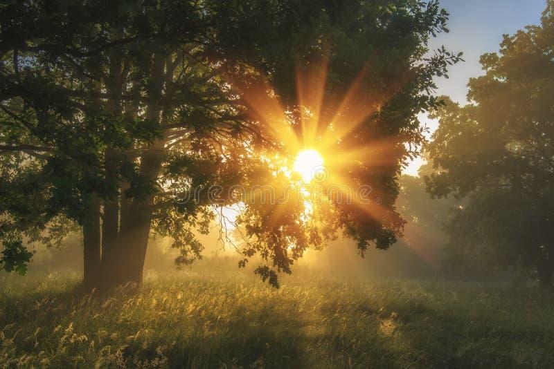 绿色自然夏天风景在早晨草甸的有光亮的草和明亮的光束的通过树分支  免版税库存照片