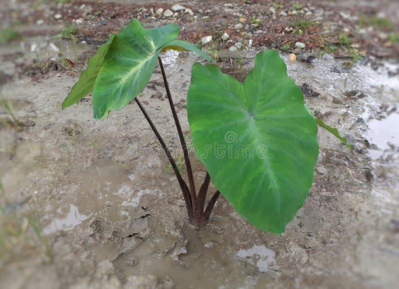 绿色芋esculenta植物,黑词根 免版税库存图片
