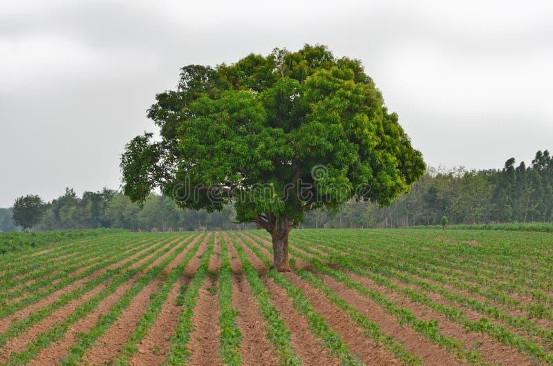 绿色芒果树在木薯农场 库存照片