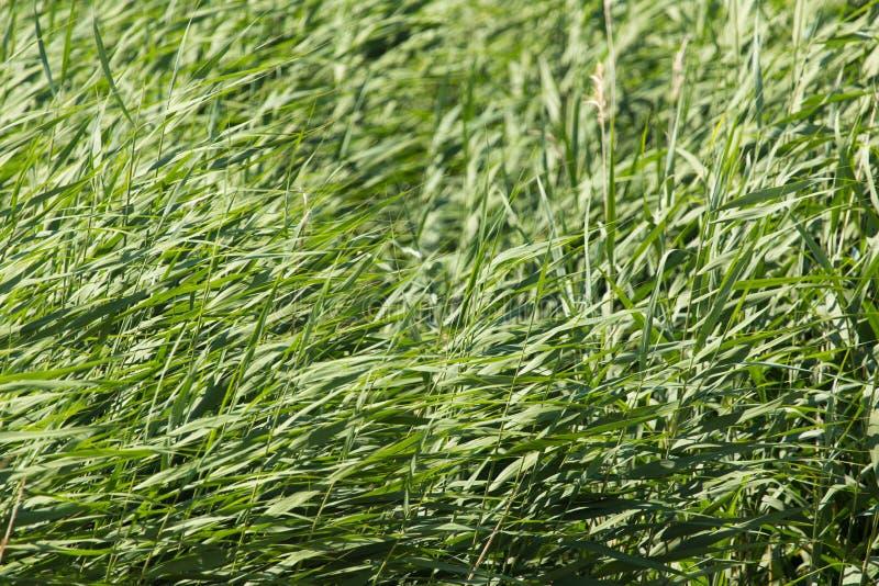 绿色芦苇本质上 图库摄影