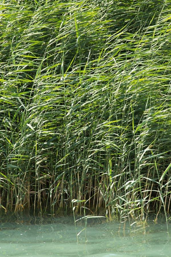 绿色芦苇本质上 库存照片