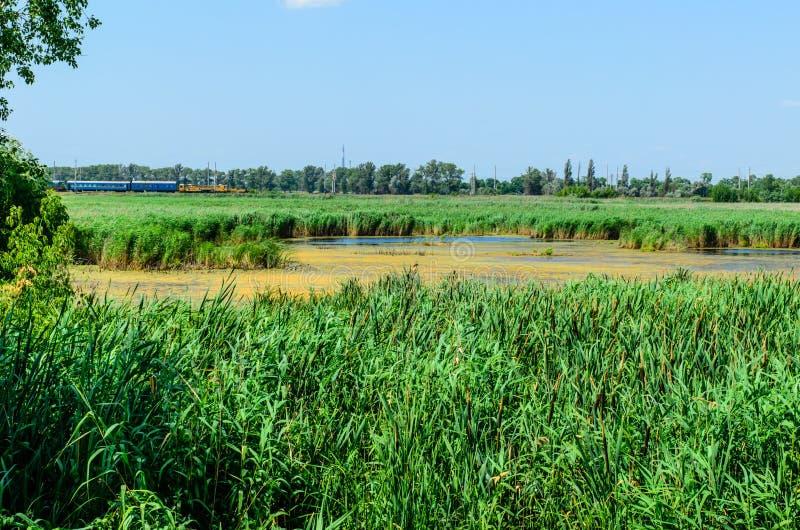 绿色芦苇植物在湖 免版税库存照片