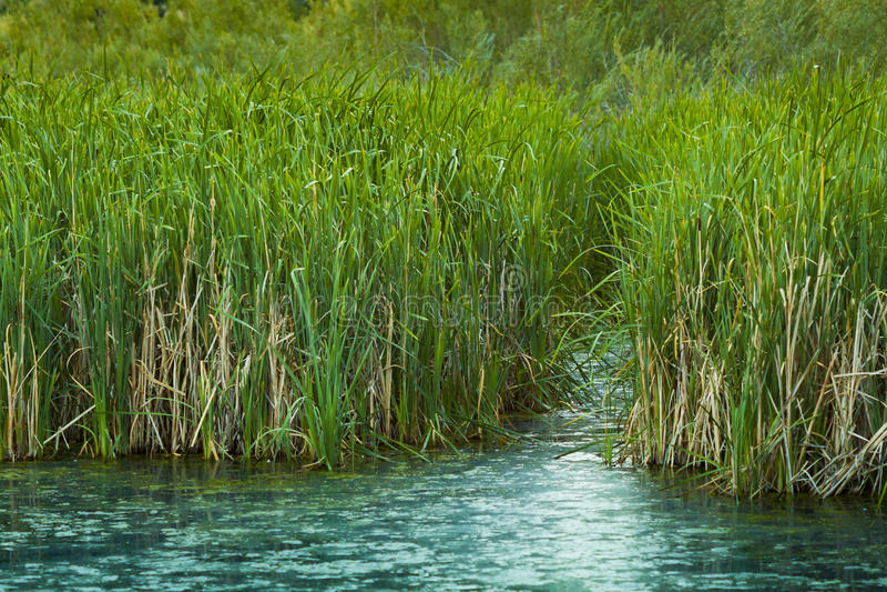 绿色芦苇沼泽地 免版税库存图片