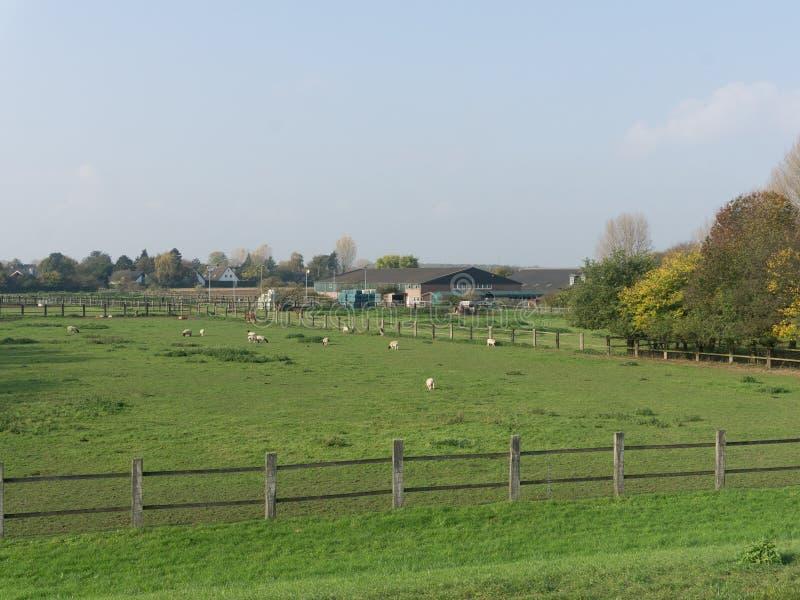 绿色草坪-有绵羊的一个牧场地的看法在一个农场附近在国家 免版税库存图片