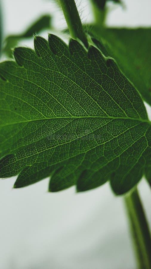 绿色草莓在白色背景留下特写镜头 宏观静脉 免版税库存图片