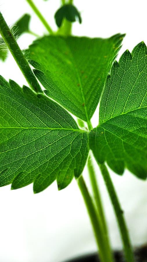 绿色草莓在白色背景留下特写镜头 宏观静脉 图库摄影