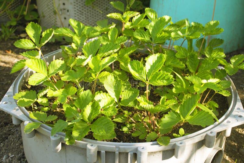 绿色草莓灌木在花圃里增长 草莓幼木 风景在庭院里 免版税库存图片