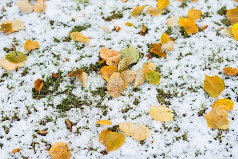 绿色草覆盖与雪和下落的黄色叶子 秋季五颜六色的背景、秋天光和颜色 库存图片
