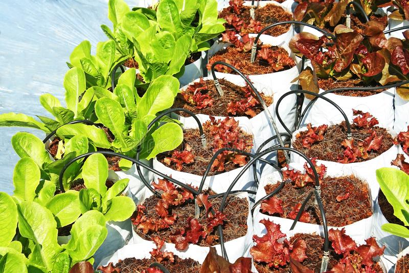 绿色莴苣在白色塑料袋增长,生长在袋子的菜 库存图片