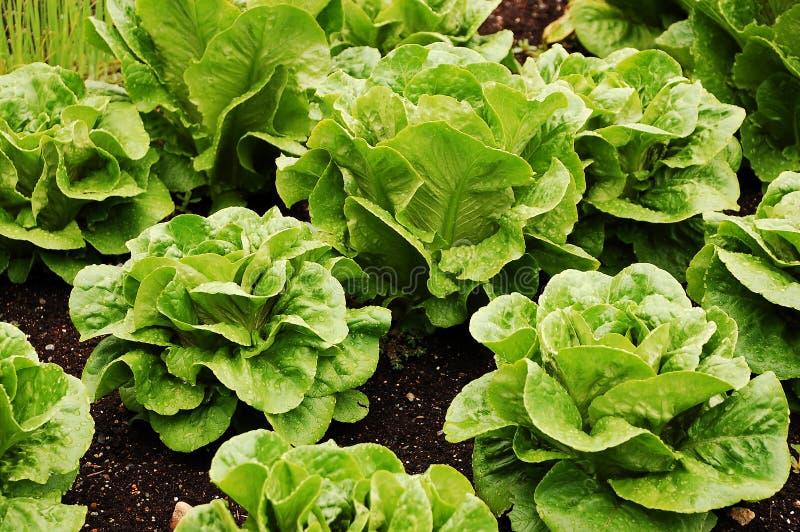 绿色莴苣长叶莴苣 库存照片