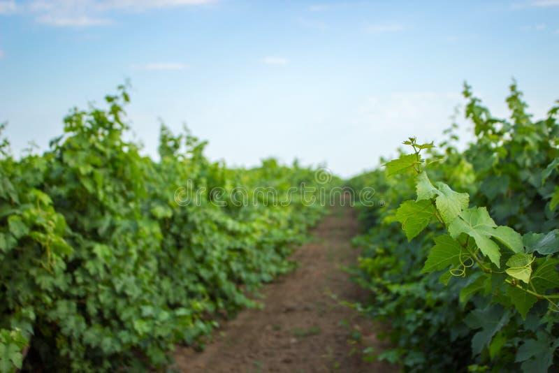 绿色葡萄枝杈和叶子在藤构筑背景 年轻葡萄在藤在葡萄园夏天背景中离开并且卷曲 免版税库存图片