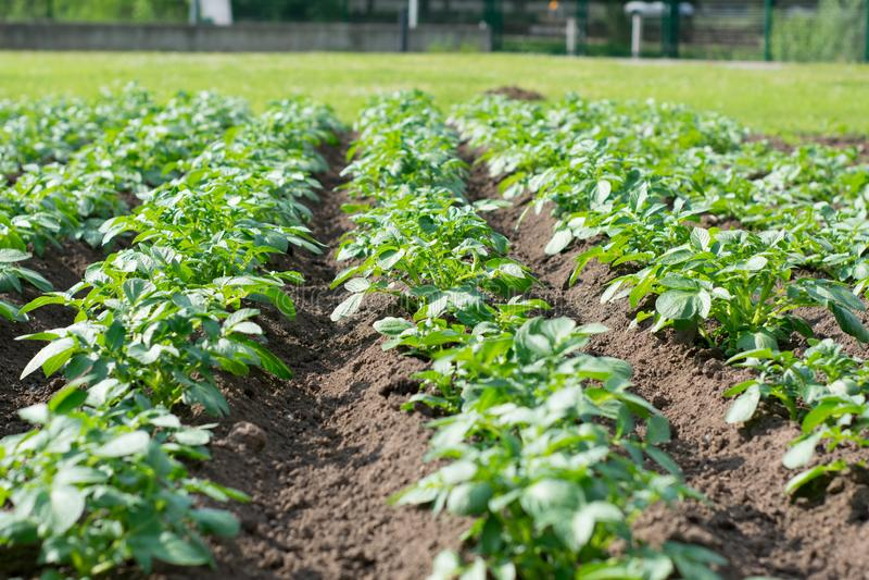 绿色蔬菜叶行在领域的 免版税库存照片