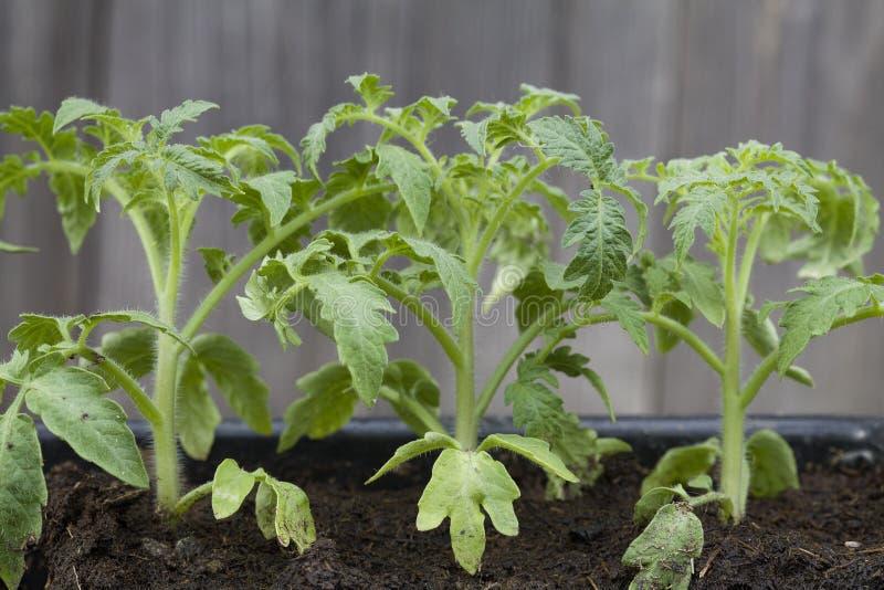 绿色蕃茄幼木自温室 免版税库存图片