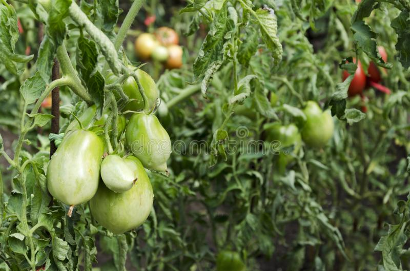 绿色蕃茄 生长在藤的未成熟的蕃茄 免版税库存照片