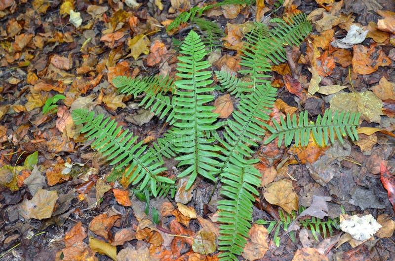 绿色蕨和秋叶在森林地板上 免版税库存照片