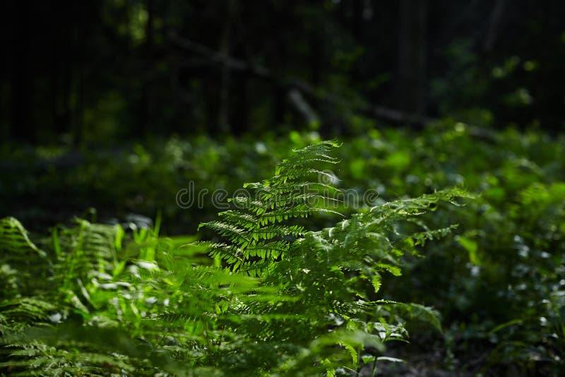 绿色蕨在阳光下在森林里 免版税库存图片